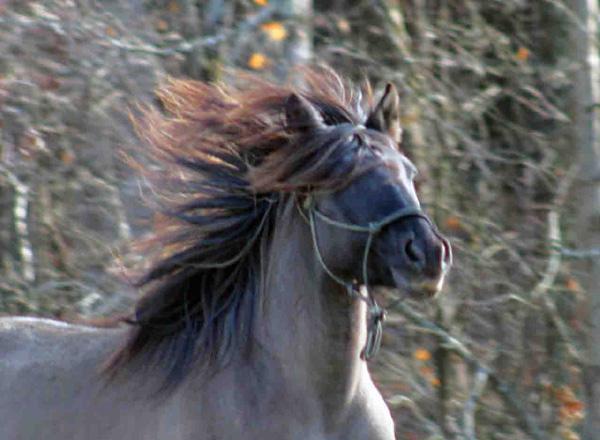 CHOCTAW  HORSES