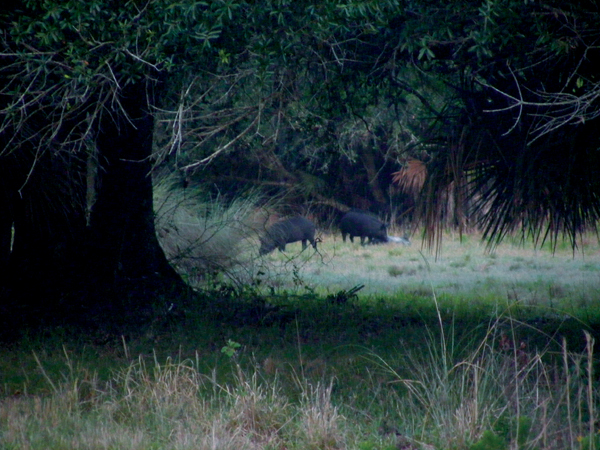 Boars in the Everglades