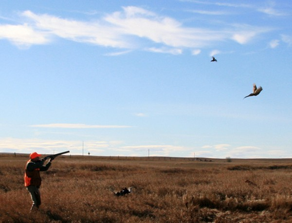 Pheasants in North Dakota