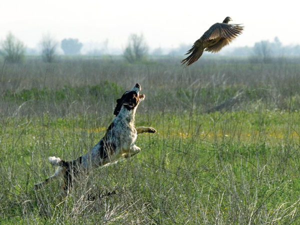 A field-bred English Springer Spaniel is one of the most exciting flushing dogs you could ever hunt behind. Its brisk quartering, animated bustle …