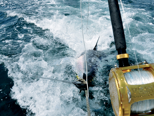The line continued to peel off the Penn reel in a slow but steady rate. The fish realized that it was hooked, turned toward us.