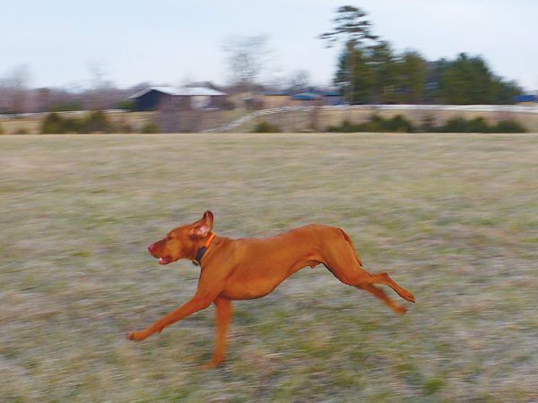 The Rise of the Vizsla