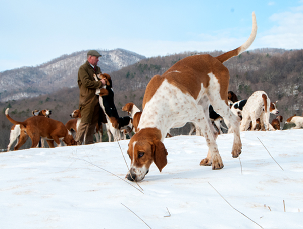 Hail from England, Matthew Cook, huntsman for Farmington Hunt Club in Charlottesville, Virginia trains the club's 60 foxhounds.