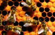 There is an important link between the health of American agriculture and the health of our honeybees for our country's long-term agricultural productivity.