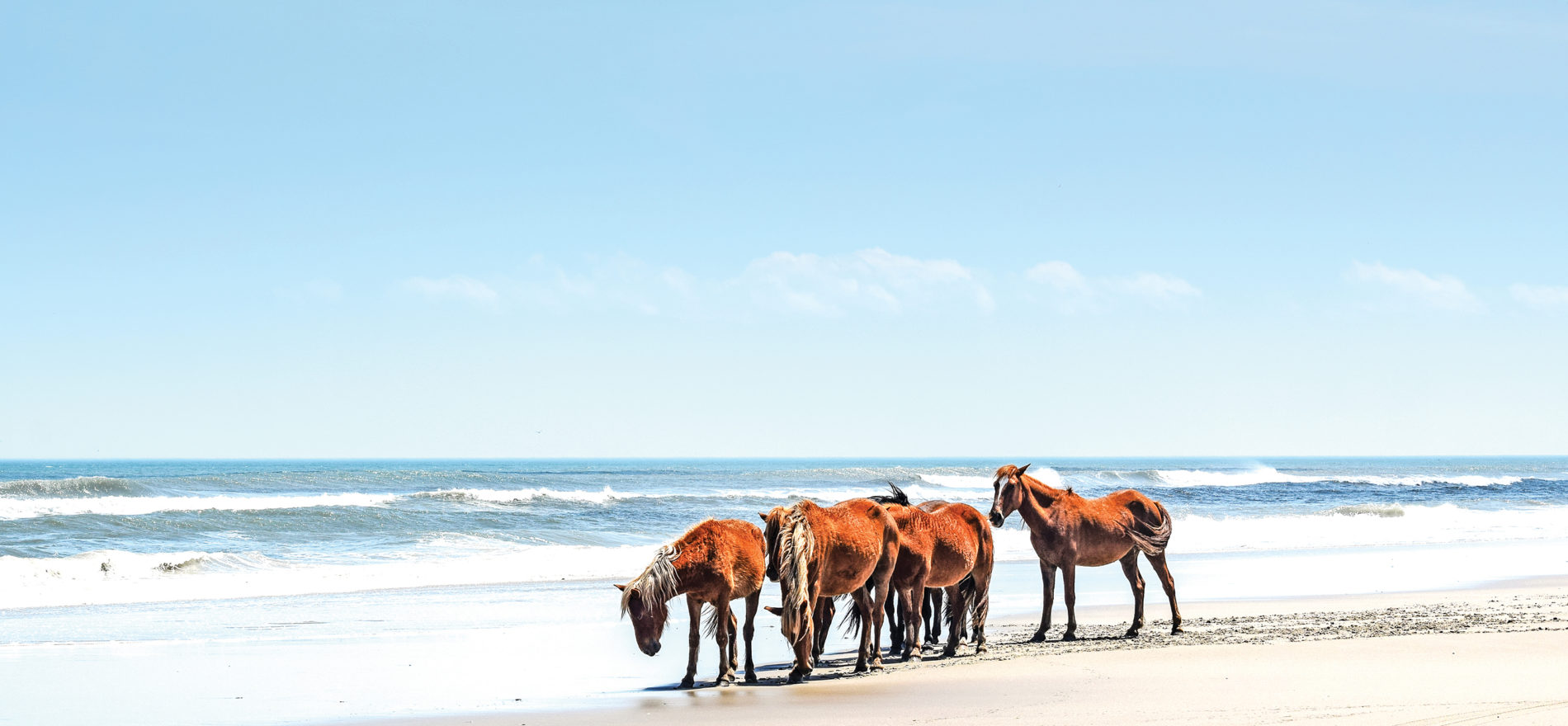 The Wild Horses Of Corolla In The Outer Banks Virginia Sportsman