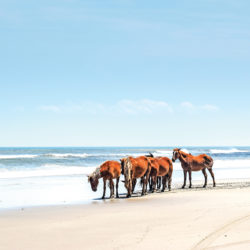 The Wild Horses of Corolla in the Outer Banks