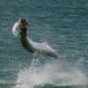 Can You Catch Tarpon in Virginia?