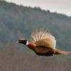 primland pheasant hunting